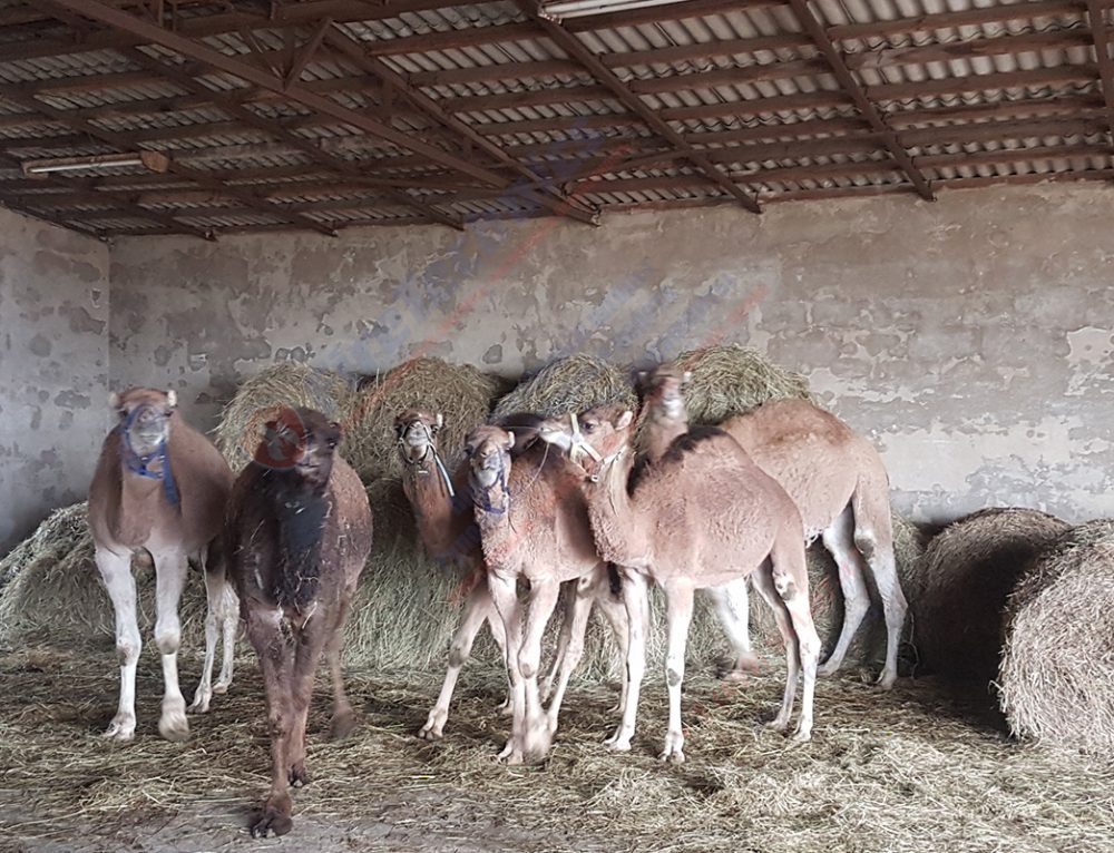 Экспорт верблюжьего молока из Казахстан в КНДР